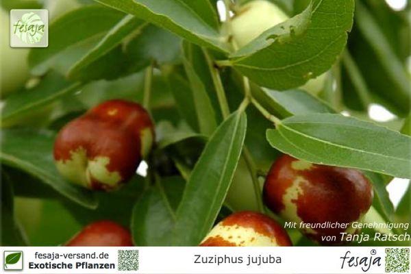 Samen Chinesische Dattel Ziziphus jujuba