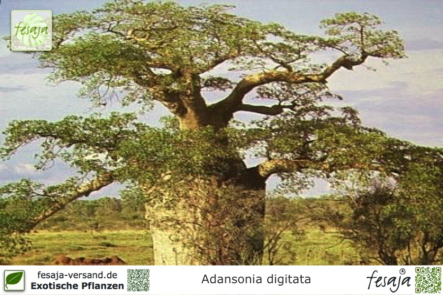 afrikanischer affenbrotbaum adansonia digitata pflanze fesaja versand. Black Bedroom Furniture Sets. Home Design Ideas