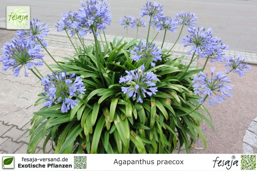 Exot Pflanzen Samen exotische Saatgut Zimmerpflanze Blume SCHMUCKLILIE