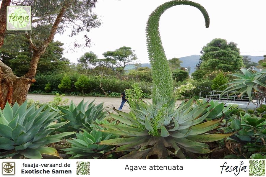 drachenbaum agave agave attenuata samen fesaja versand. Black Bedroom Furniture Sets. Home Design Ideas