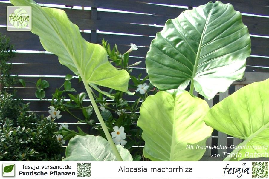 elefantenohr alocasia macrorrhiza pflanze fesaja versand. Black Bedroom Furniture Sets. Home Design Ideas