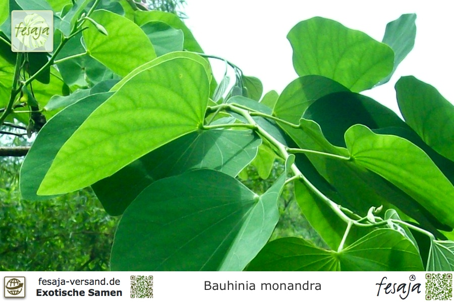 Samen Saatgut exotische Zimmer-Pflanzen Terrasse Balkon ORCHIDEEN-BAUM