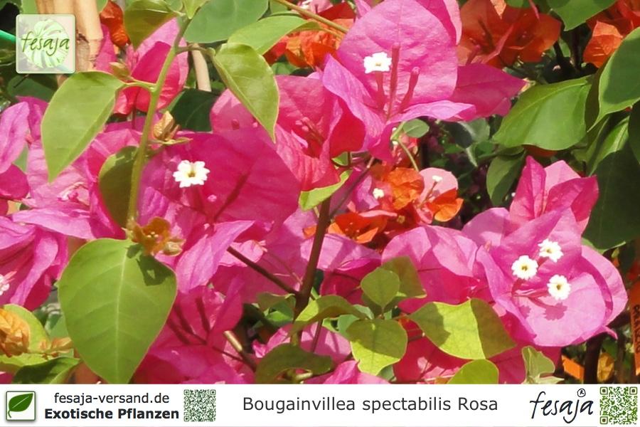 Drillingsblume Rosa Bluhend Bougainvillea Spectabilis Pflanze