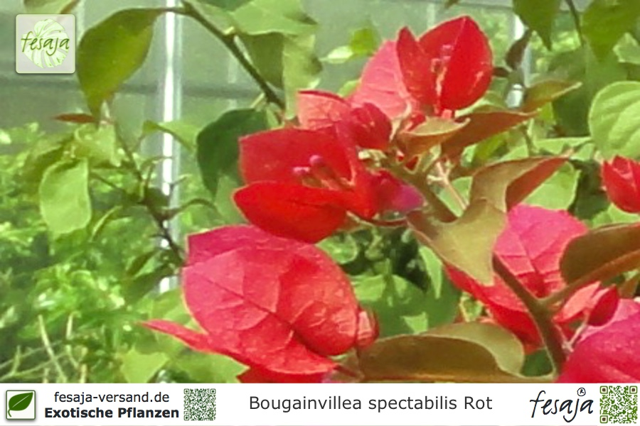 drillingsblume rot bougainvillea spectabilis pflanze fesaja versand. Black Bedroom Furniture Sets. Home Design Ideas