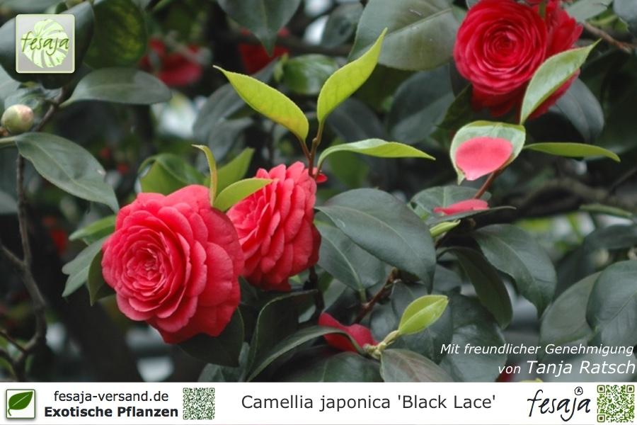 kamelie black lace camellia japonica pflanze fesaja versand. Black Bedroom Furniture Sets. Home Design Ideas