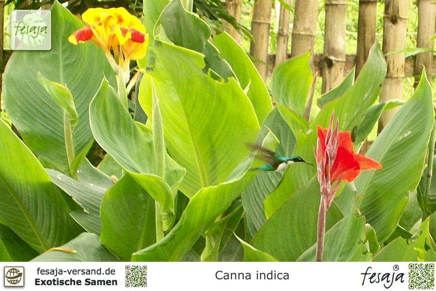 indisches blumenrohr canna indica samen fesaja versand. Black Bedroom Furniture Sets. Home Design Ideas