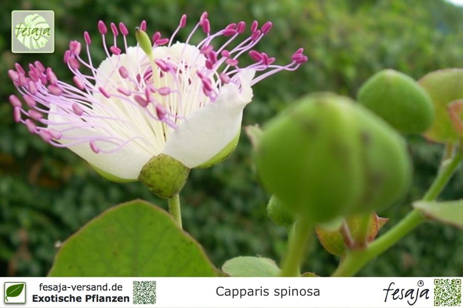 echter kapernstrauch capparis spinosa pflanze fesaja. Black Bedroom Furniture Sets. Home Design Ideas