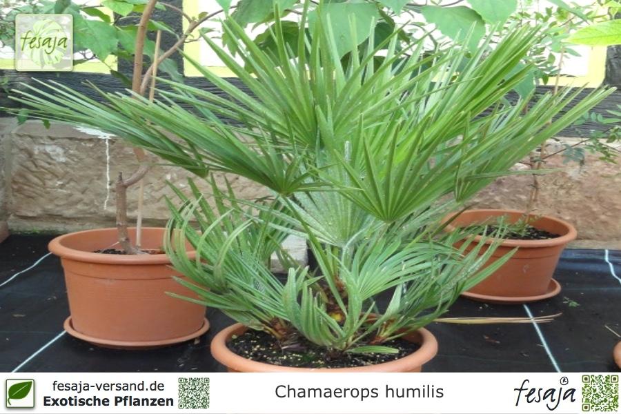 zwergpalme chamaerops humilis pflanze fesaja versand. Black Bedroom Furniture Sets. Home Design Ideas