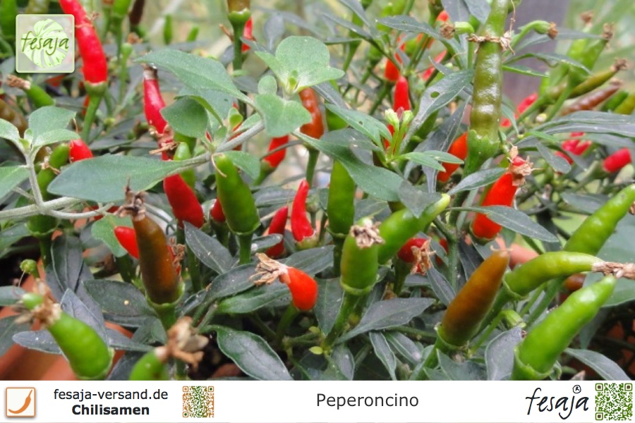 Peperoncino bonsai chili fesaja versand for Bonsai versand