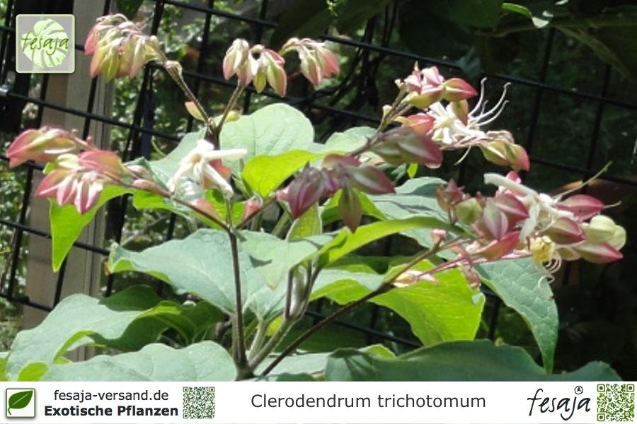Japanischer Losbaum Clerodendrum Trichotomum Pflanze