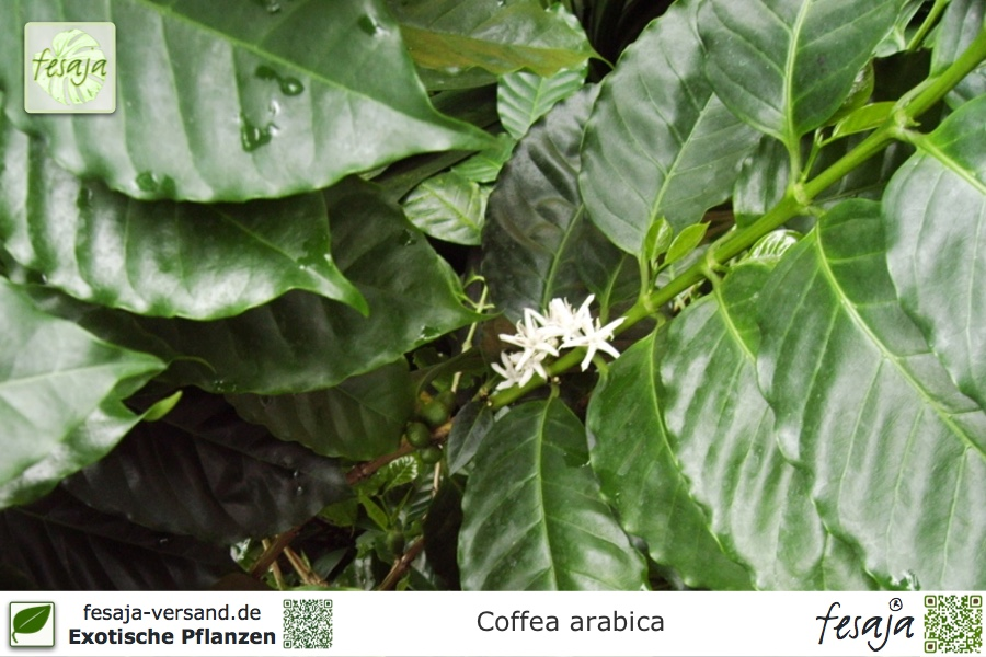 arabica kaffee coffea arabica pflanze fesaja versand. Black Bedroom Furniture Sets. Home Design Ideas