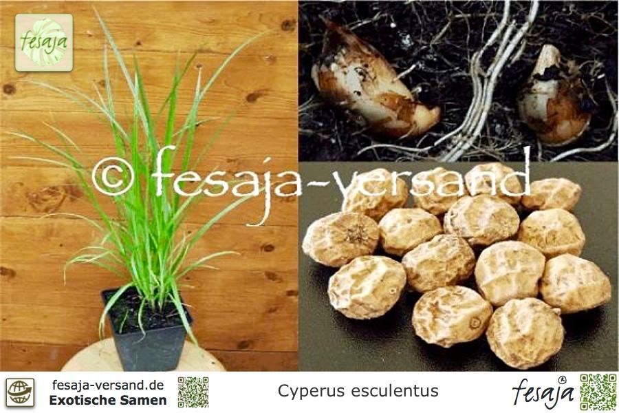 Erdmandel Tigernuss Cyperus esculentus 20 Samen