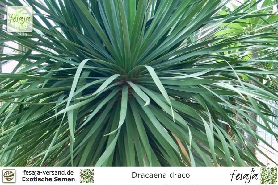 kanarischer drachenbaum dracaena draco samen fesaja. Black Bedroom Furniture Sets. Home Design Ideas