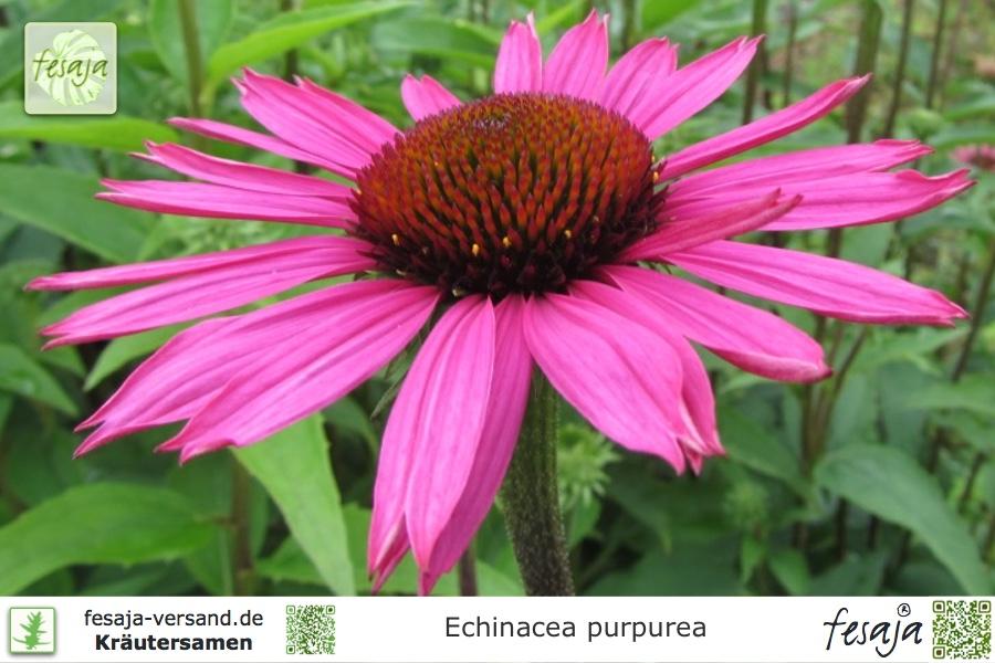 roter sonnenhut echinacea purpurea fesaja versand. Black Bedroom Furniture Sets. Home Design Ideas