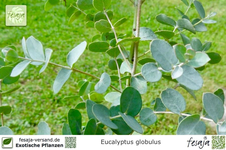 blauer eukalyptus eucalyptus globulus pflanze fesaja. Black Bedroom Furniture Sets. Home Design Ideas