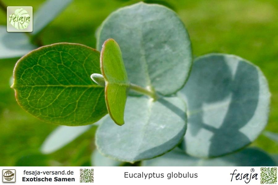 Blauer Eukalyptus, Eucalyptus globulus - fesaja-versand