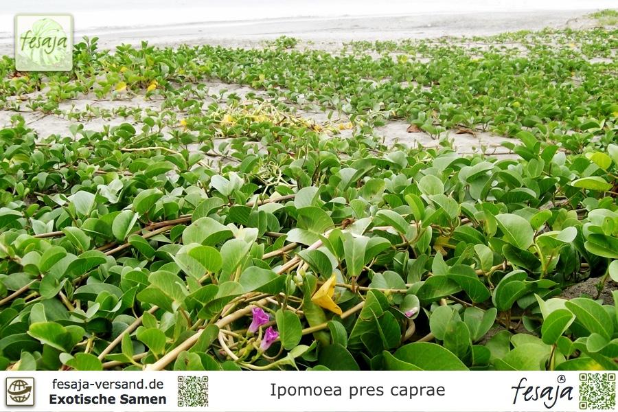 Ziegen Fuß Ipomoea Pes-Caprae 10 Samen