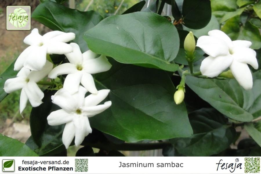 arabischer jasmin jasminum sambac pflanze fesaja versand. Black Bedroom Furniture Sets. Home Design Ideas