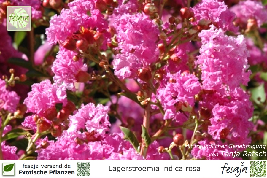 flieder des s dens rosa lagerstroemia indica pflanze. Black Bedroom Furniture Sets. Home Design Ideas