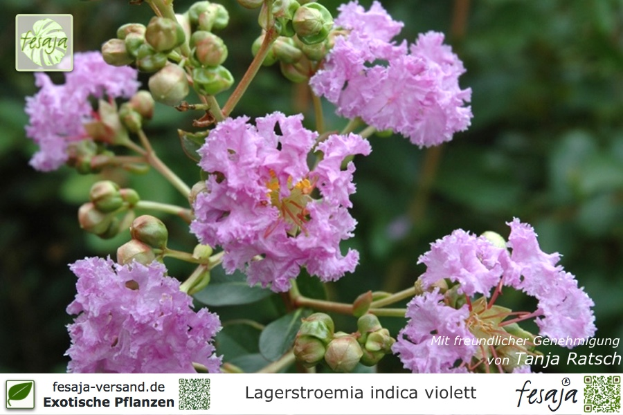 Flieder Des Sudens Violett Lagerstroemia Indica Pflanze Fesaja