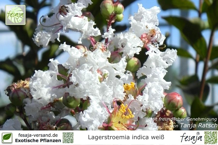 Flieder Des Sudens Weiss Lagerstroemia Indica Pflanze Fesaja Versand