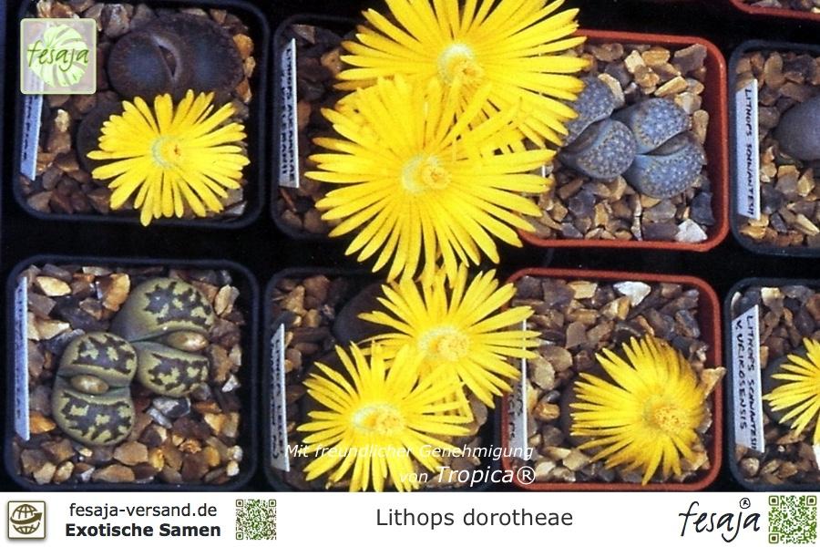 150 Stück gemischte saftige Samen Lithops Seltene lebende Steine Pflanzen Kak