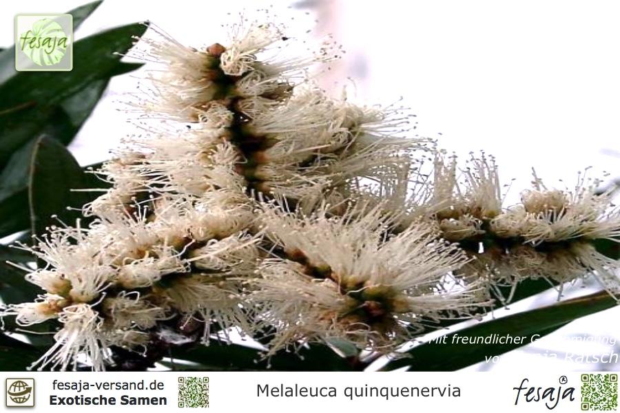 Weiße Myrtenheide, Melaleuca quinquenervia, Samen - fesaja-versand