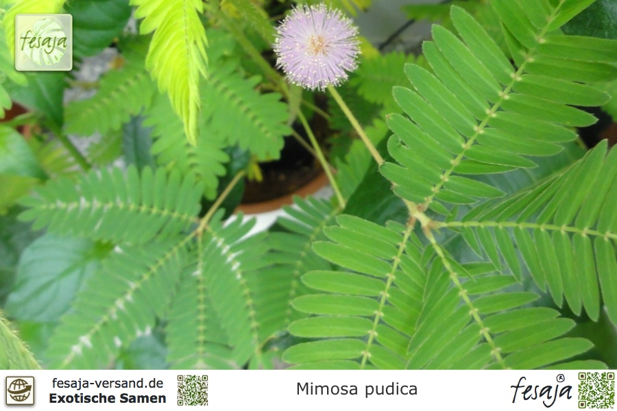 Exot Pflanzen Samen exotische Saatgut Zimmerpflanze Blume Rarität ECHTE MIMOSE