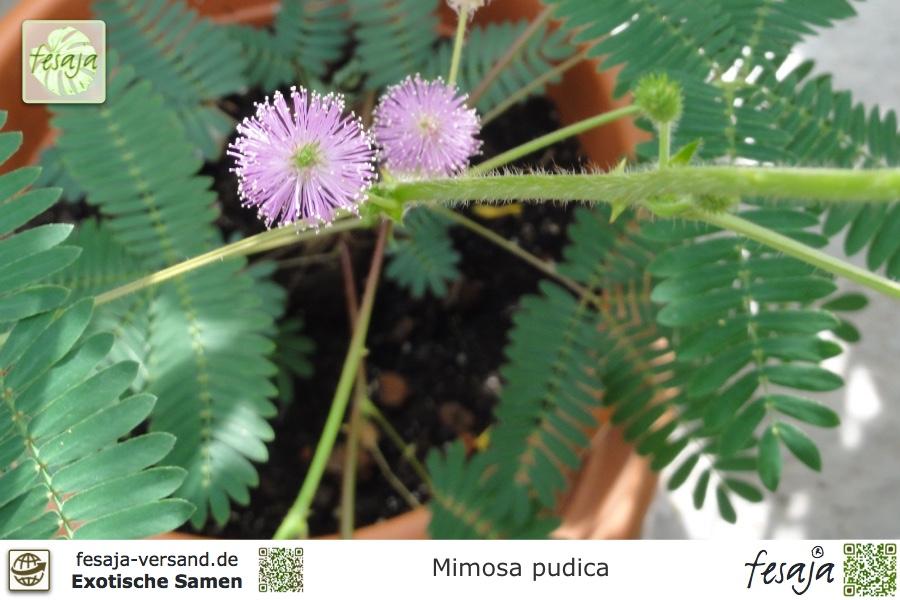 Die echte Mimose ist eine wunderschöne mehrjährige Zimmerpflanze.