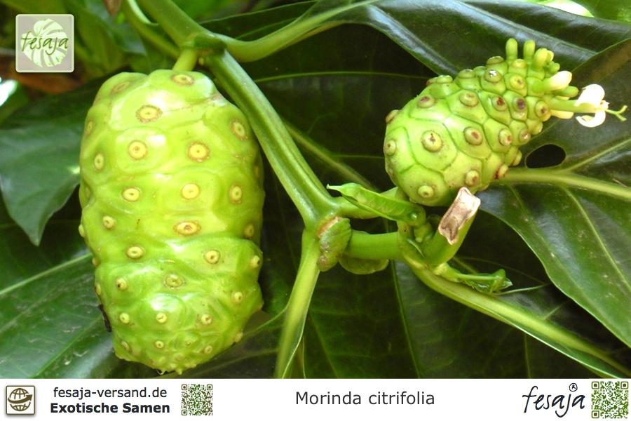 Terrasse Wintergarten exotisches Balkon-Gemüse i die NONI !i Zimmerpflanze