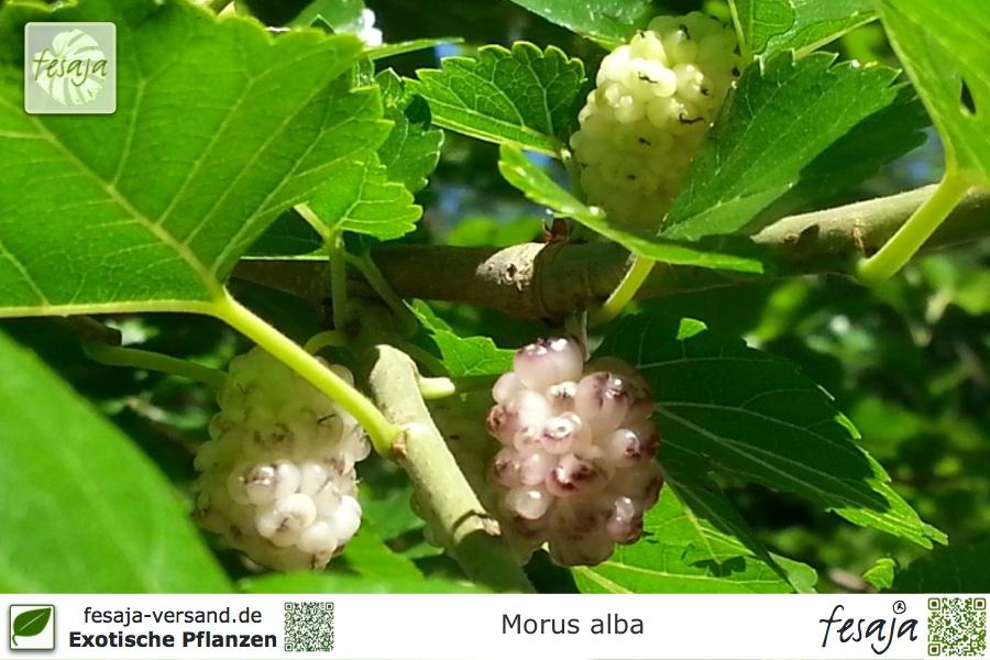 wei er maulbeerbaum morus alba pflanze fesaja versand. Black Bedroom Furniture Sets. Home Design Ideas