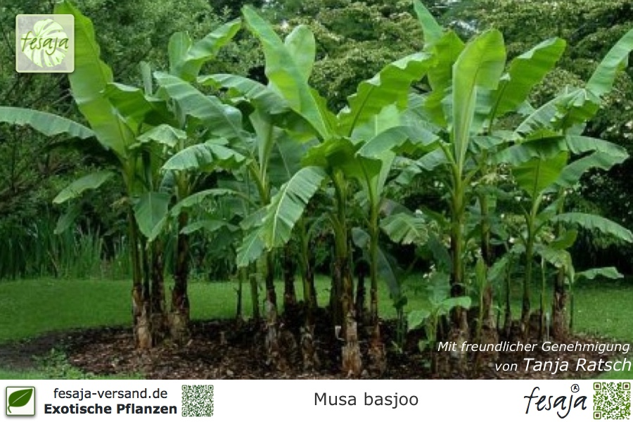 Musa basjoo 40 cm winterharte Japanische Faserbanane Banane Bananenpflanze