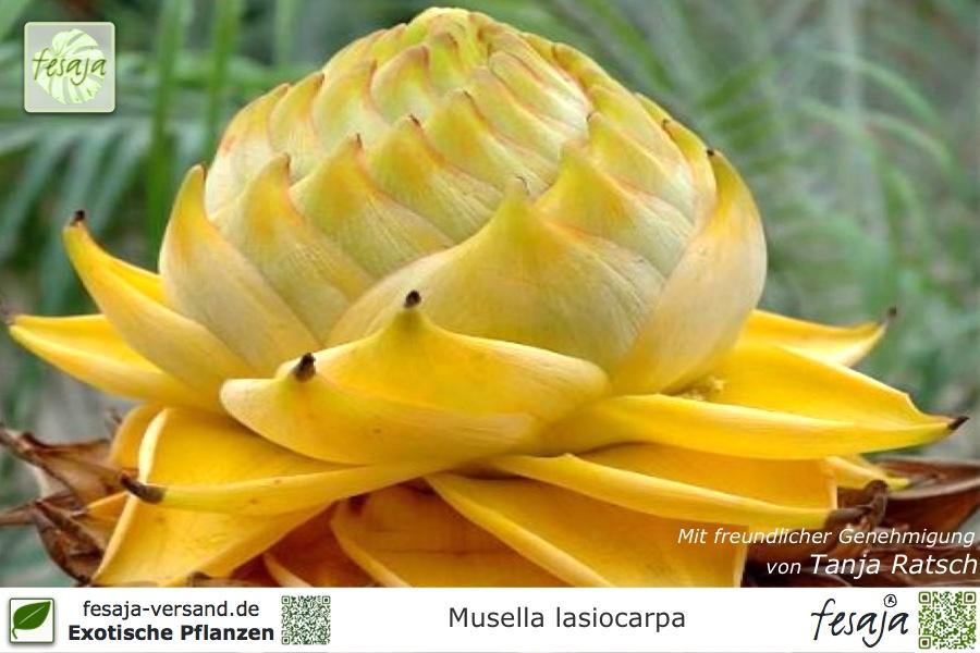 golden lotus banane musella lasiocarpa pflanze fesaja. Black Bedroom Furniture Sets. Home Design Ideas