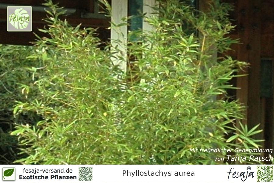 goldrohr bambus phyllostachys aurea pflanze fesaja versand. Black Bedroom Furniture Sets. Home Design Ideas