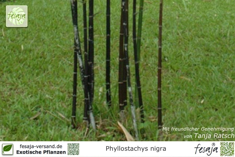 Schwarzrohr Bambus Phyllostachys Nigra Pflanze Fesaja Versand