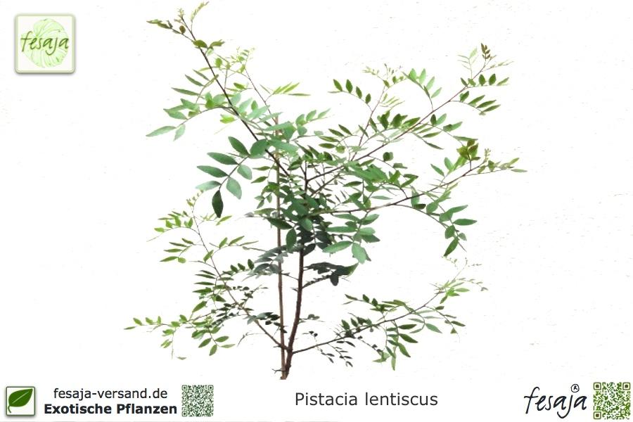 Mastixstrauch, Wilde Pistazie, Pistacia lentiscus, Pflanze - fesaja ...