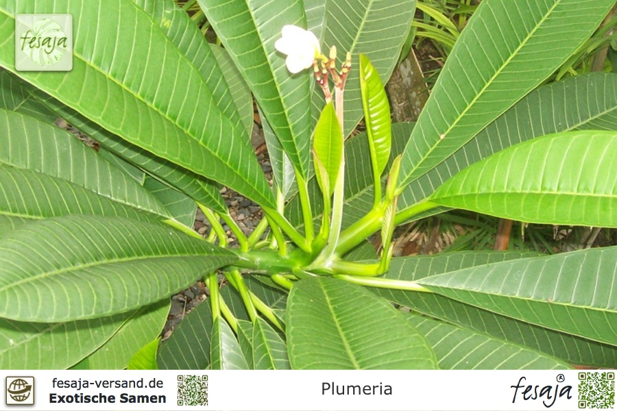 Frangipani Plumeria Samen 10 Stück Wachsblume Tempelbaum