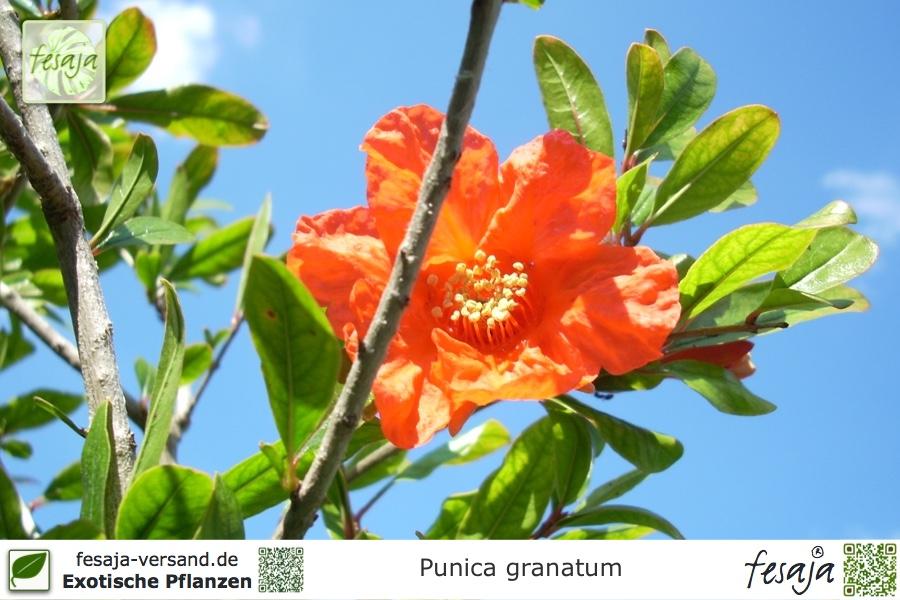 Granatapfel Punica Granatum Pflanze Fesaja Versand