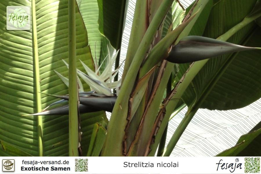 5 Samen Baumstrelitzie Strelitzia nicolai