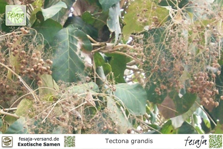 Teakbaum rinde  Teakholzbaum, Teakbaum, Tectona grandis, Samen - fesaja-versand