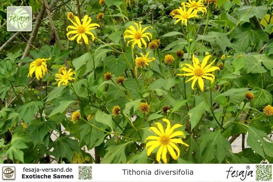 mexikanische sonnenblume tithonia diversifolia samen. Black Bedroom Furniture Sets. Home Design Ideas