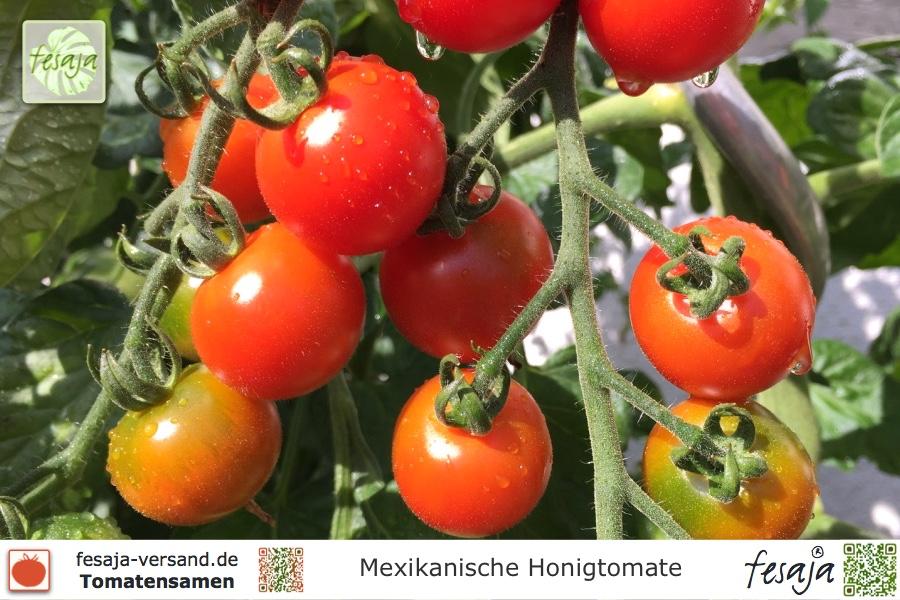mexikanische honigtomate tomaten samen fesaja versand. Black Bedroom Furniture Sets. Home Design Ideas