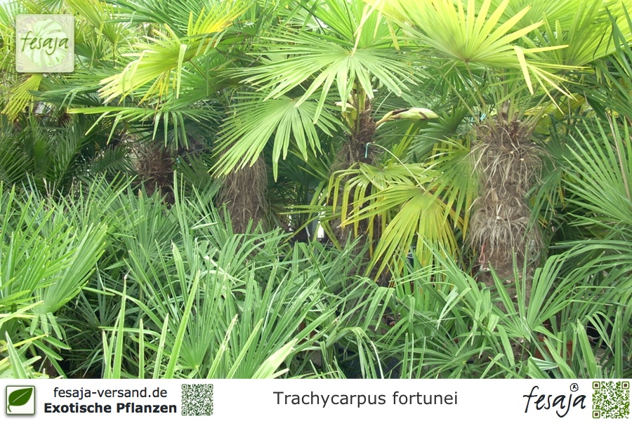 Chinesische Hanfpalme Trachycarpus Fortunei Pflanze Fesaja Versand