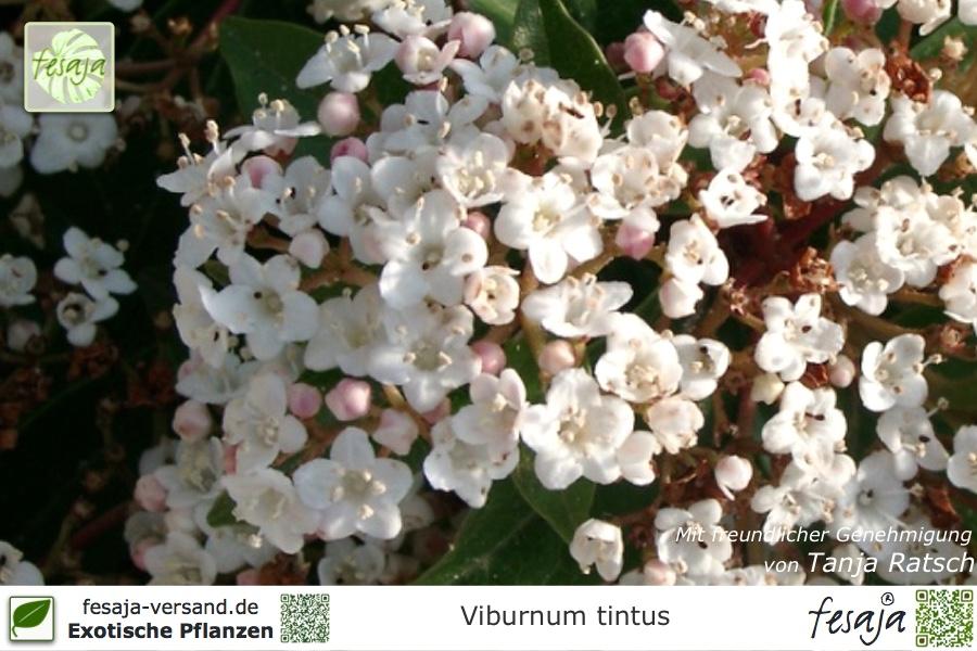 lorbeer schneeball viburnum tinus pflanze fesaja versand. Black Bedroom Furniture Sets. Home Design Ideas