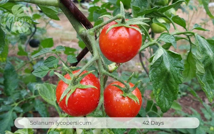 Tomate 42 Days
