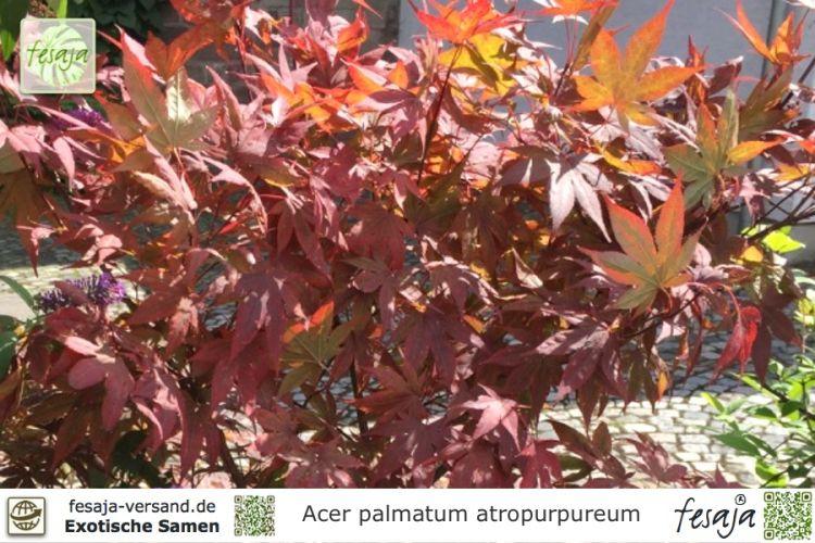 japanischer blutahorn acer palmatum atropurpureum samen. Black Bedroom Furniture Sets. Home Design Ideas