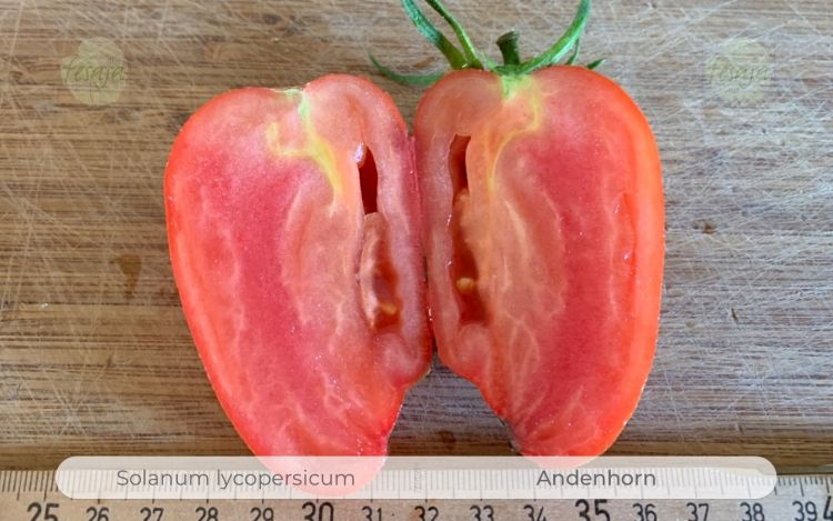 Tomate Andenhorn