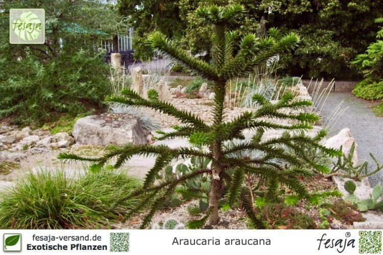 chilenische araukarie araucaria araucana pflanze fesaja versand. Black Bedroom Furniture Sets. Home Design Ideas