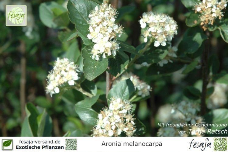 schwarze apfelbeere aronia melanocarpa pflanze fesaja. Black Bedroom Furniture Sets. Home Design Ideas