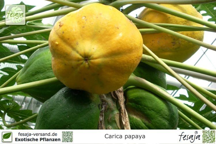 papaya melonenbaum carica papaya pflanze fesaja versand. Black Bedroom Furniture Sets. Home Design Ideas